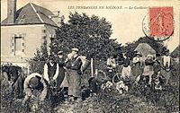 Vendanges à Cour-Cheverny 1905.jpg