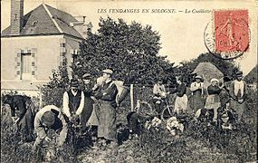 Vendanges à Cour-Cheverny 1905.jpg