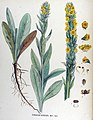 Verbascum schraderi — Flora Batava — Volume v17.jpg