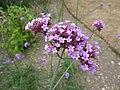 Verbena bonariensis 'Purple top' (Verbenaceae) flowers.JPG