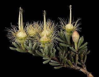<i>Verticordia oxylepis</i> Species of flowering plant