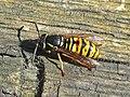 Vespula rufa (Vespidae) (Red Wasp) - (imago), Elst (Gld), the Netherlands.jpg