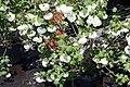 Viburnum opulus Roseum 7zz.jpg