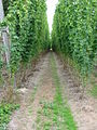 View along a row of hops - geograph.org.uk - 946648.jpg
