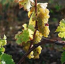 La Bourgogne regorge d'énergie en grains dans Bourgogne 220px-Vignes_Cognac
