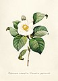 Vintage Flower illustration by Pierre-Joseph Redouté, digitally enhanced by rawpixel 52.jpg