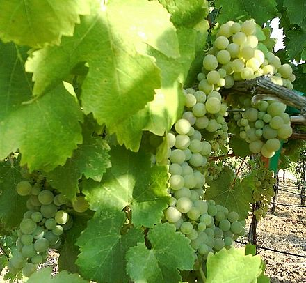 Viognier grapes ripening on the vine in Amador county, California.
