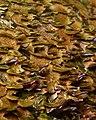 Violet-toothed Polypore (Trichaptum biforme) - Algonquin Provincial Park 2019-09-24 (02).jpg