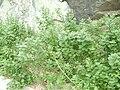 Vitex trifolia subsp. litoralis 02.jpg