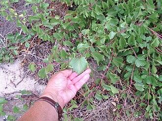 Vitis rupestris - Image: Vitis rupestris leaves