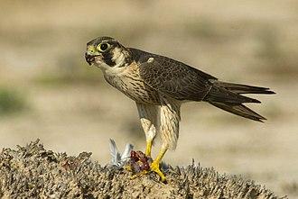 Barbary falcon - Image: Wüstenfalke