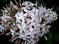 WHITE FLOWER-MANGLORE.jpg