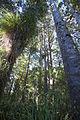 Waipoua Forest, kauri trees-2.jpg