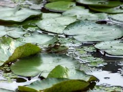 File:Water frog croak.ogv