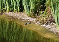 Water turtles at Bonchurch Village Road pond.JPG