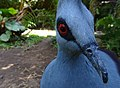 Western crowned pigeon at Bali Bird Park 2.jpg