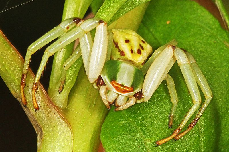 White-Banded Crab Spider (Misumenoides formosipes)