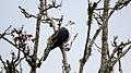 White-headed Pigeon (Columba leucomela) (31325752556).jpg
