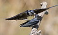 White-throated Swallow, Hirundo albigularis at Marievale Nature Reserve, Gauteng, South Africa. Sequence of two juveniles being fed on the fly by their parents. (15445500317).jpg