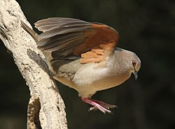 White-tipped Dove.jpg