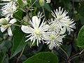 White blossom - Flickr - Stiller Beobachter.jpg