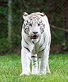 White tiger - Serengeti-Park Hodenhagen 2017 03.jpg