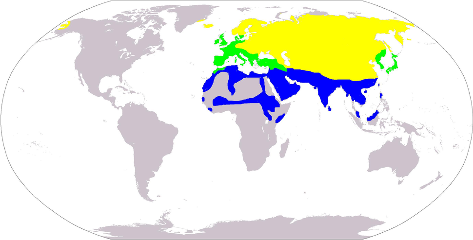 White wagtail distribution