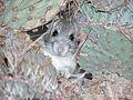 Whitethroat Woodrat - (Neotoma albigula) (9853933874).jpg