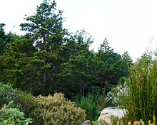 Widdringtonia nodiflora - Mountain cypress.JPG