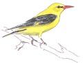 Wielewaal Oriolus oriolus Jos Zwarts 2.tif