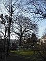 Wiener Naturdenkmal 589 - Baumhasel (Döbling) b.JPG