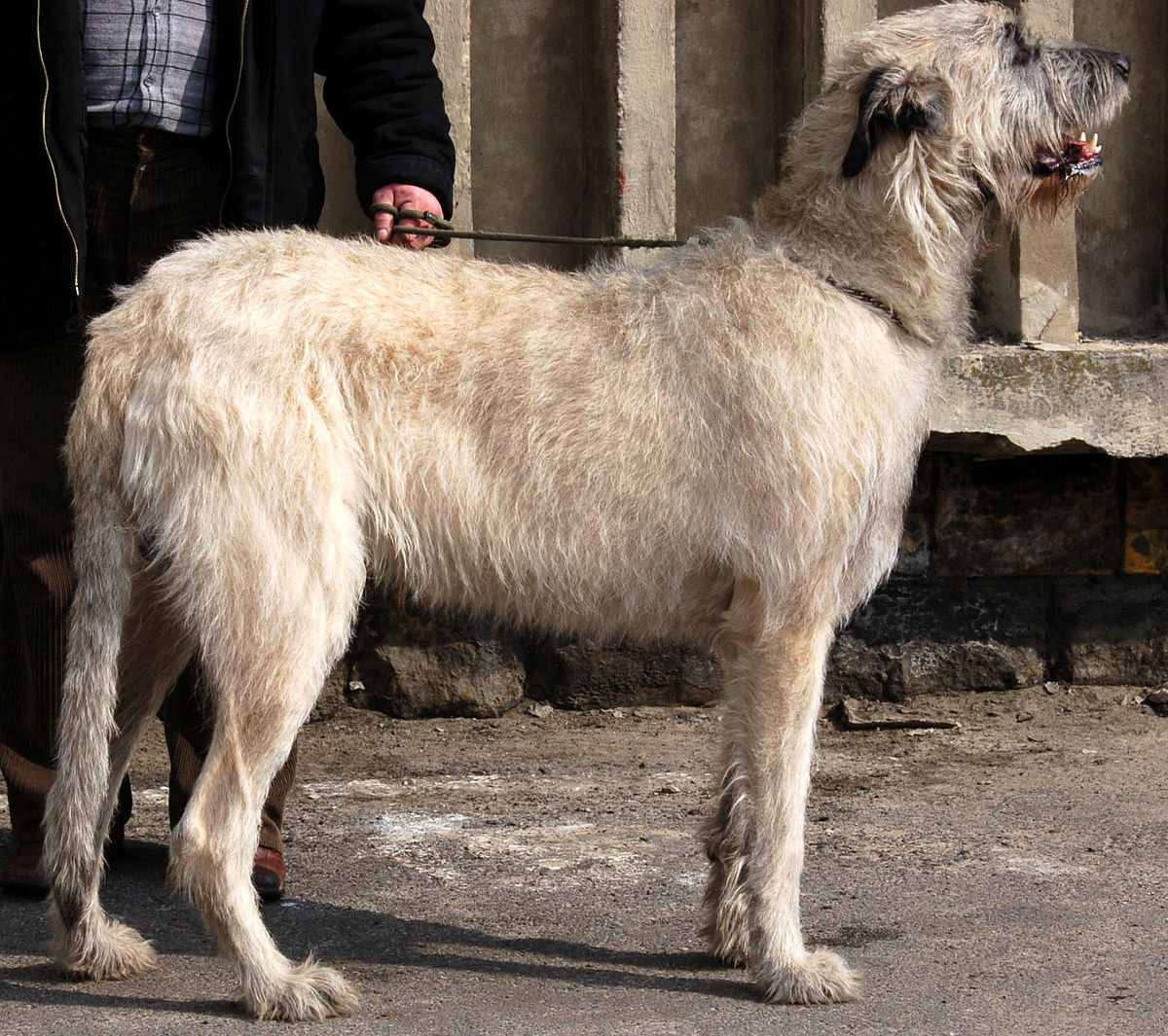Giant Dog Breeds With Pictures