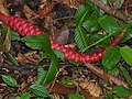 Wild Ginger (Zingiberaceae) inflorescence (15609710536).jpg