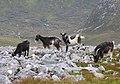 Wild Goats - geograph.org.uk - 231607.jpg