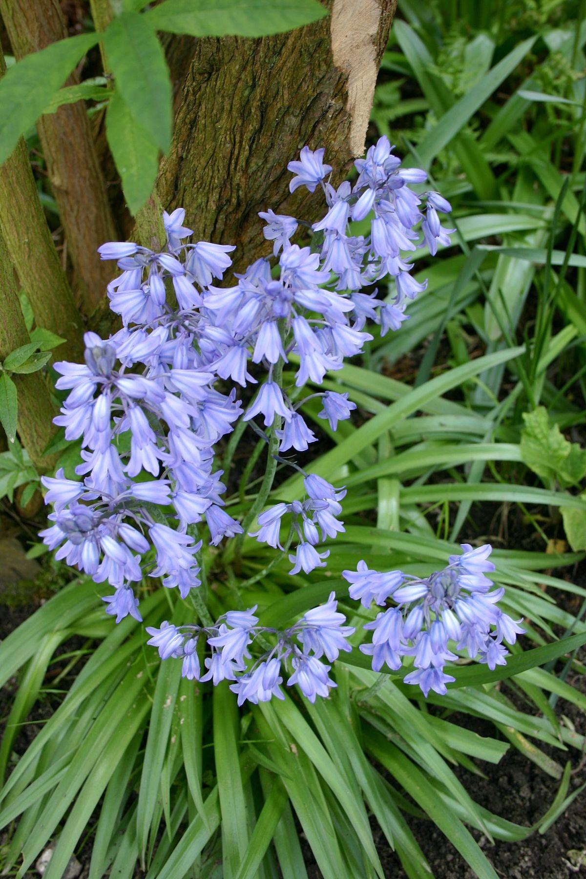 Fleur De Sous Bois Bleue jacinthe d'espagne — wikipédia