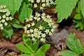 Wild sarsaparilla Aralia nudicaulis White Cliff Fen and Forest Door County Wisconsin.jpg