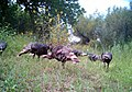 Wild turkeys (6492409475).jpg