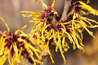 https://upload.wikimedia.org/wikipedia/commons/thumb/7/78/Witch_Hazel.jpg/320px-Witch_Hazel.jpg
