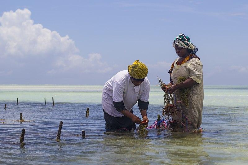 File:WomenWorking SeaweedZanzibar 2.jpg - Wikimedia Commons