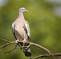 Wood pigeon (48255118816).jpg