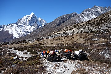 Working yaks in Everest region.jpg