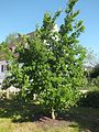 Wzwz tree 11c Cornus mas.jpg