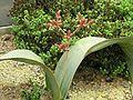 XN Welwitschia mirabilis 03.jpg