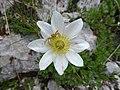 Xysticus on Anemone baldensis Dolomiti.jpg