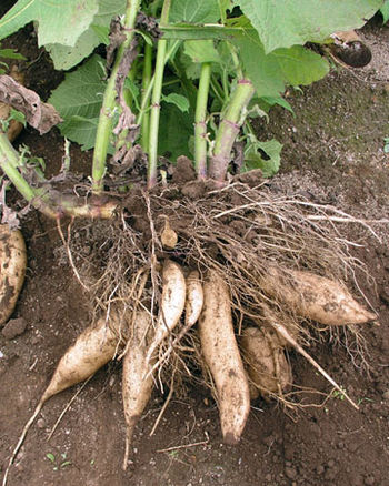The tuberous roots of the yacón plant (Smallan...