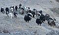 Yaks in Nepal - 7917 (22764357690).jpg