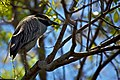 Yellow-Crowned Night Heron perched.jpg