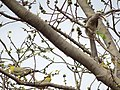 Yellow-Footed Green Pigeons and a Female Indian Grey Hornbill.jpg