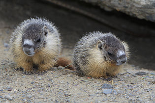 Yellow-bellied Marmot pups - Kamloops, BC..jpg