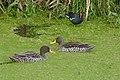 Yellow-billed Ducks (Anas undulata) and Common Moorhen (Gallinula chloropus).jpg